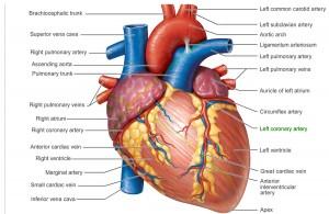 inima, Inima – anatomie, camere, valve, inervatie